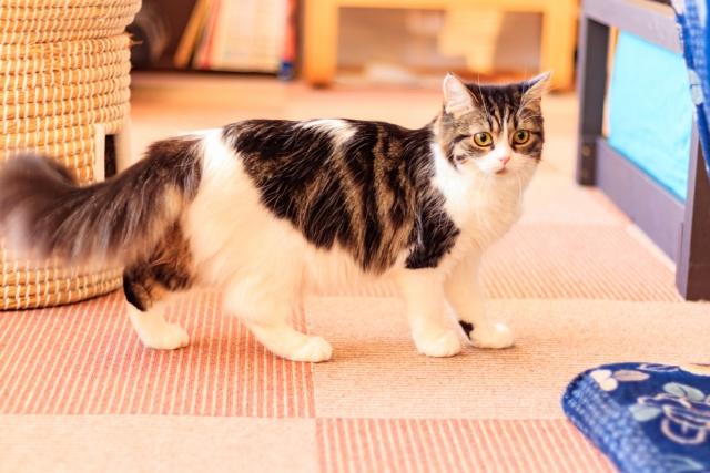猫が家の中をウロウロしてる?落ち着かない行動をする理由はこれ!